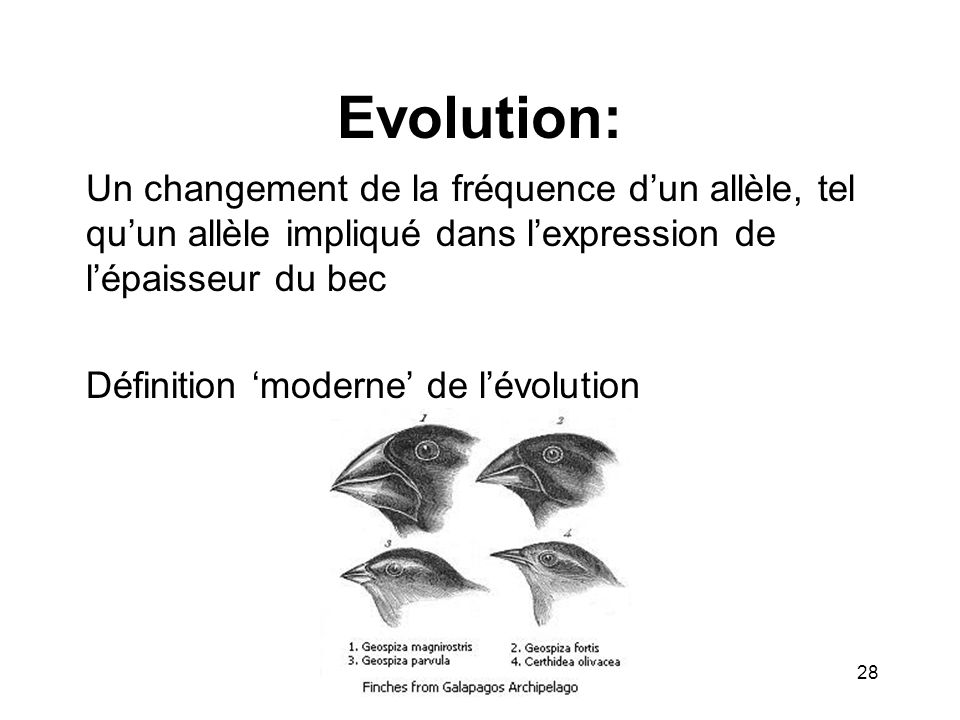 Evolution: Un changement de la fréquence d'un allèle, tel qu'un allèle impliqué dans l'expression de l'épaisseur du bec.