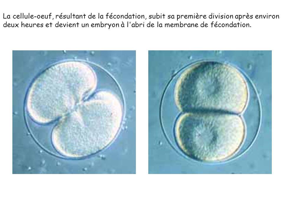 La cellule-oeuf, résultant de la fécondation, subit sa première division après environ deux heures et devient un embryon à l abri de la membrane de fécondation.