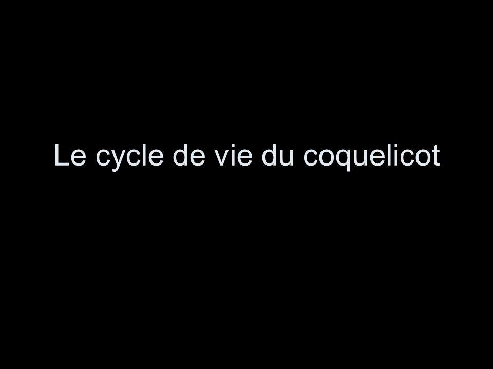 Le cycle de vie du coquelicot