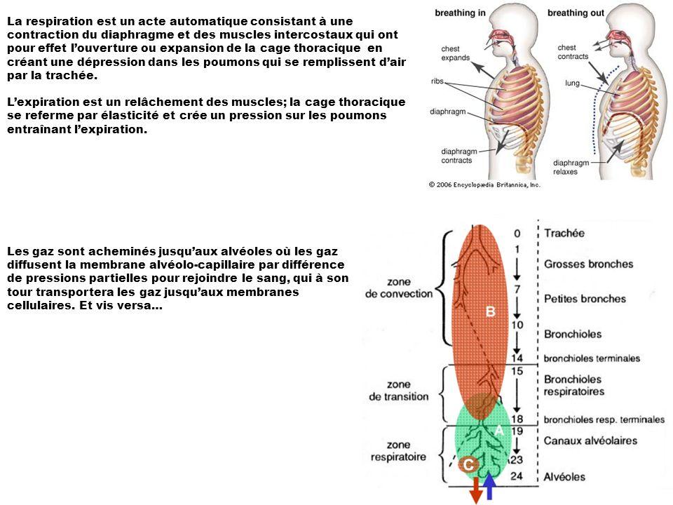 La respiration est un acte automatique consistant à une contraction du diaphragme et des muscles intercostaux qui ont pour effet l'ouverture ou expansion de la cage thoracique en créant une dépression dans les poumons qui se remplissent d'air par la trachée.