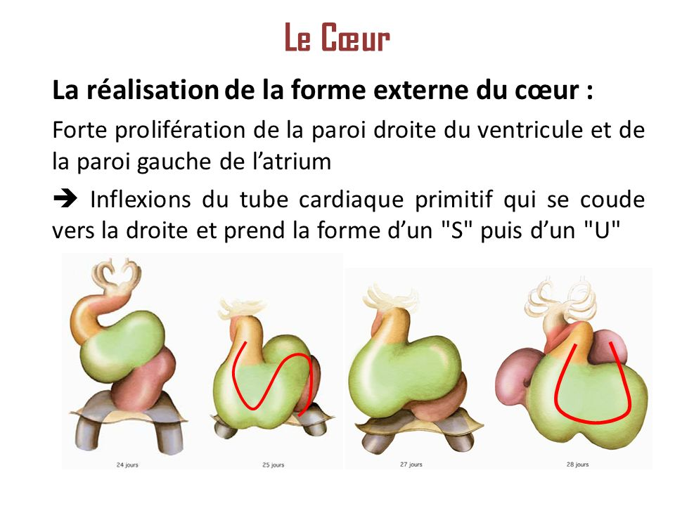 Le Cœur La réalisation de la forme externe du cœur :
