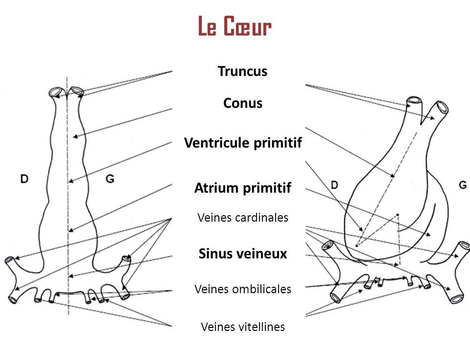 Le Cœur Truncus Conus Ventricule primitif Atrium primitif