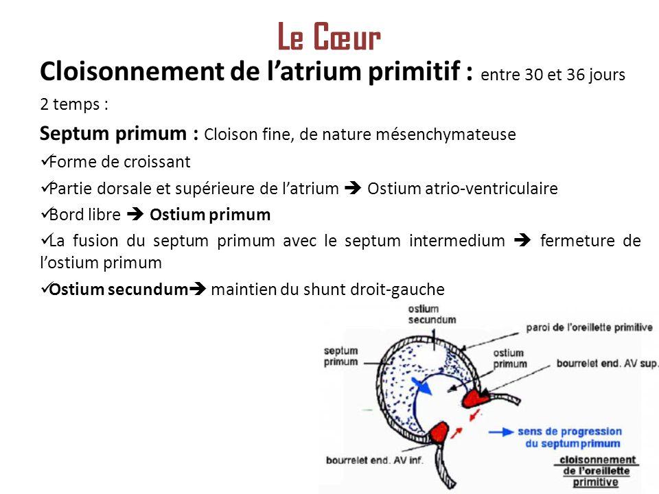 Le Cœur Cloisonnement de l'atrium primitif : entre 30 et 36 jours
