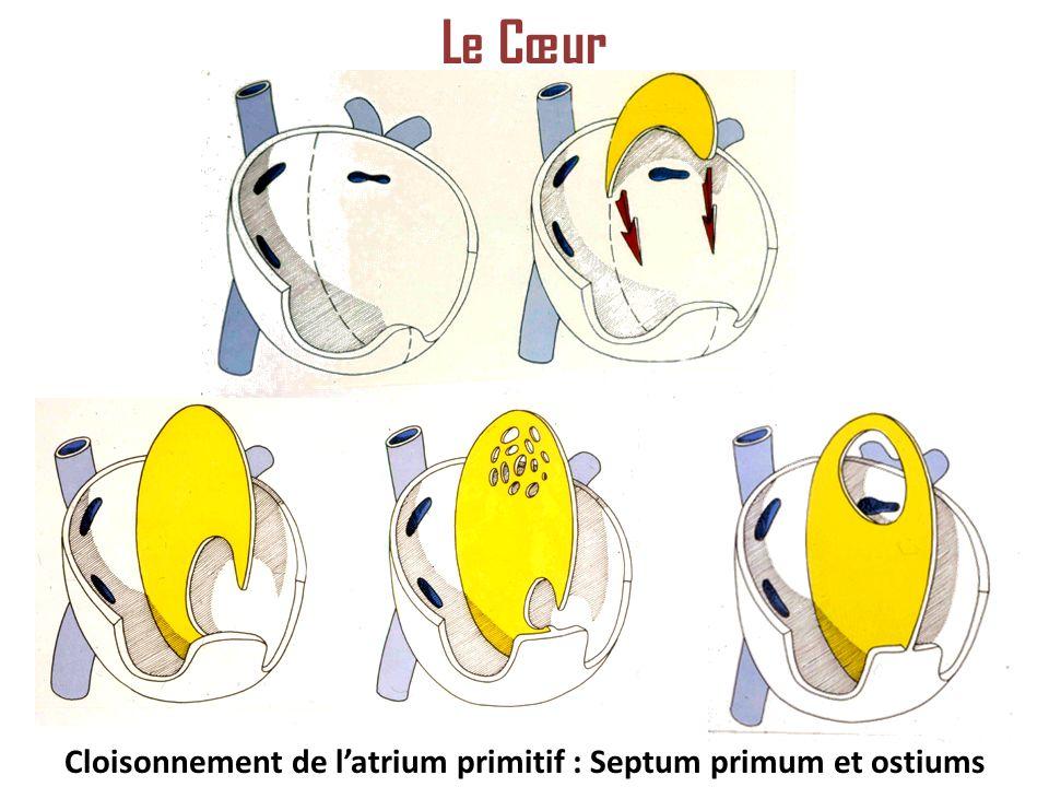 Cloisonnement de l'atrium primitif : Septum primum et ostiums