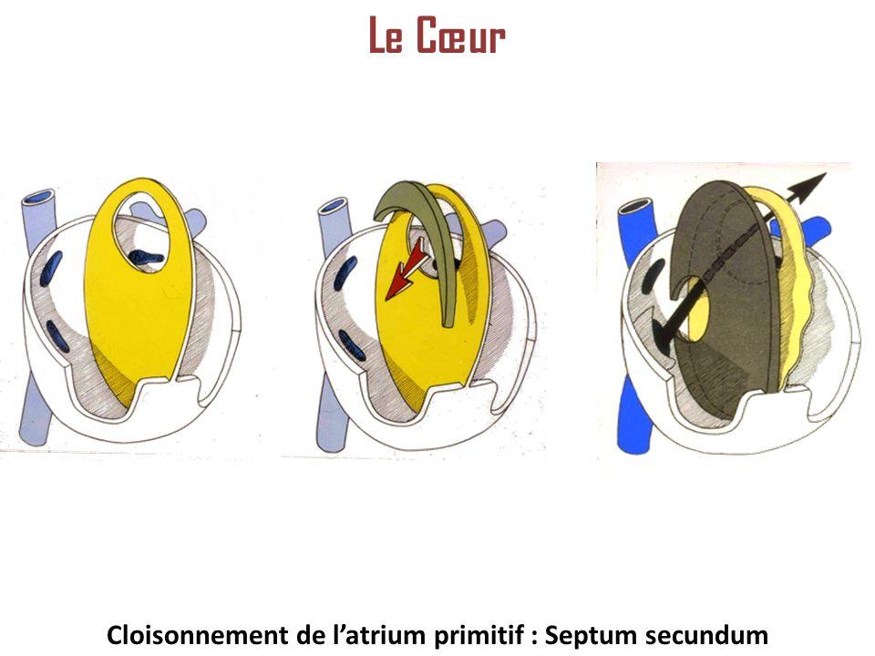 Cloisonnement de l'atrium primitif : Septum secundum