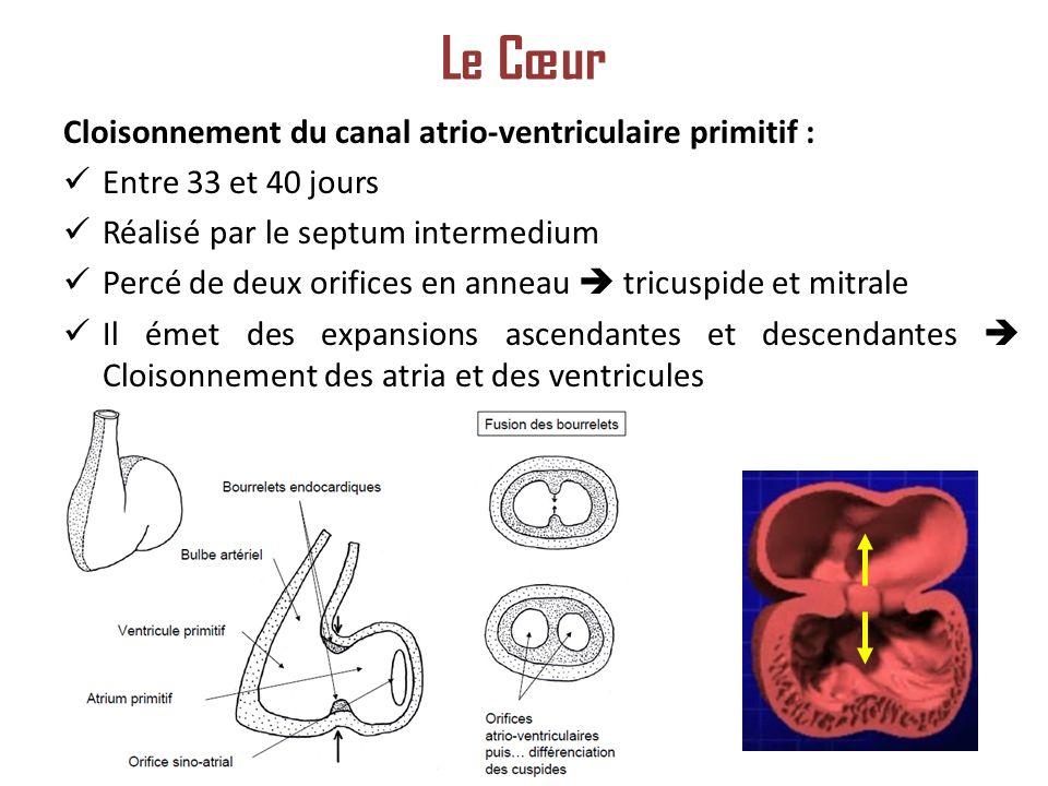 Le Cœur Cloisonnement du canal atrio-ventriculaire primitif :