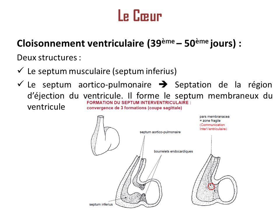Le Cœur Cloisonnement ventriculaire (39ème – 50ème jours) :