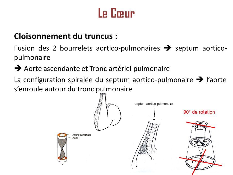 Le Cœur Cloisonnement du truncus :