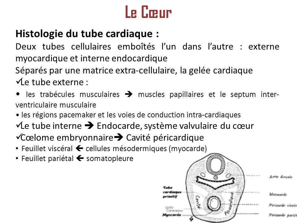 Le Cœur Histologie du tube cardiaque :