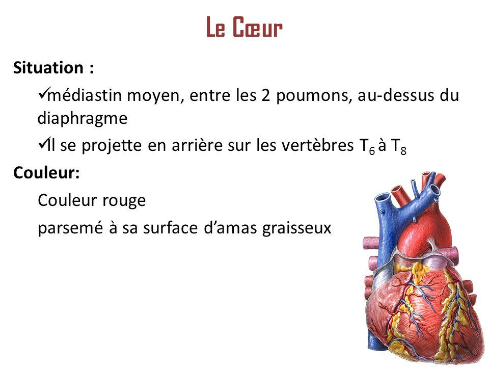 Le Cœur Situation : médiastin moyen, entre les 2 poumons, au-dessus du diaphragme. Il se projette en arrière sur les vertèbres T6 à T8.