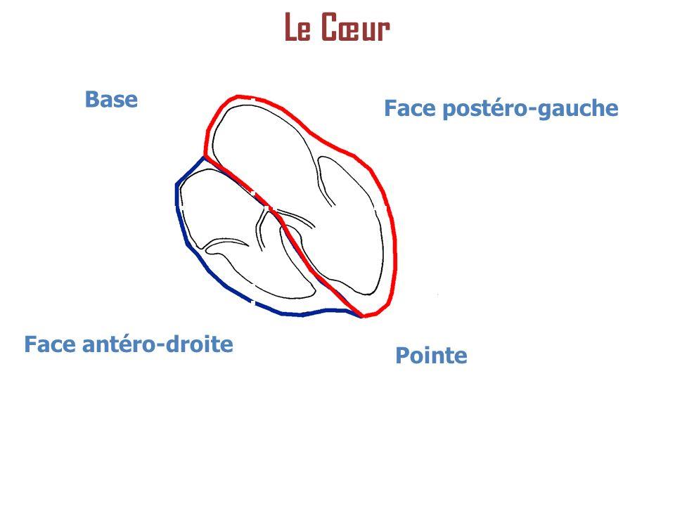Le Cœur Base Face postéro-gauche Face antéro-droite Pointe