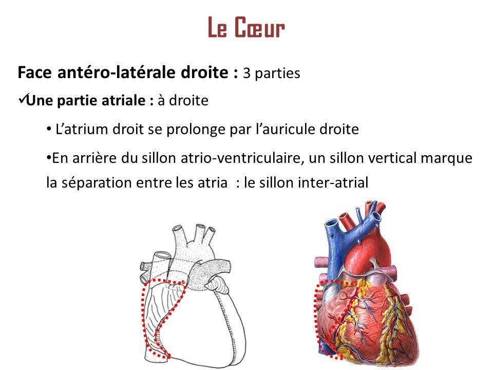 Le Cœur Face antéro-latérale droite : 3 parties