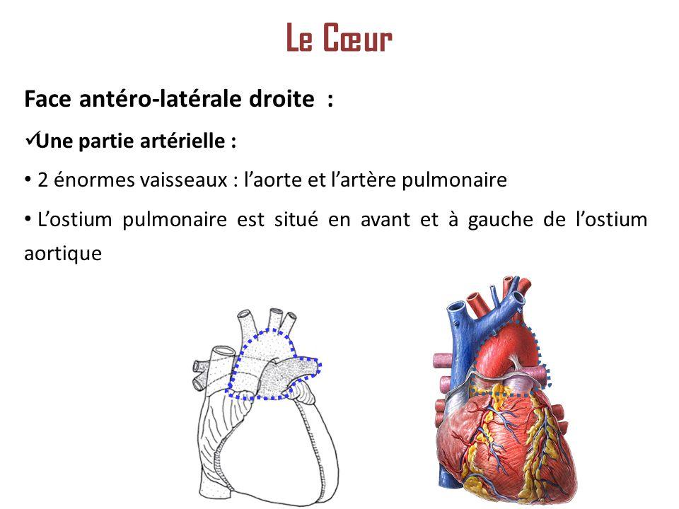 Le Cœur Face antéro-latérale droite : Une partie artérielle :