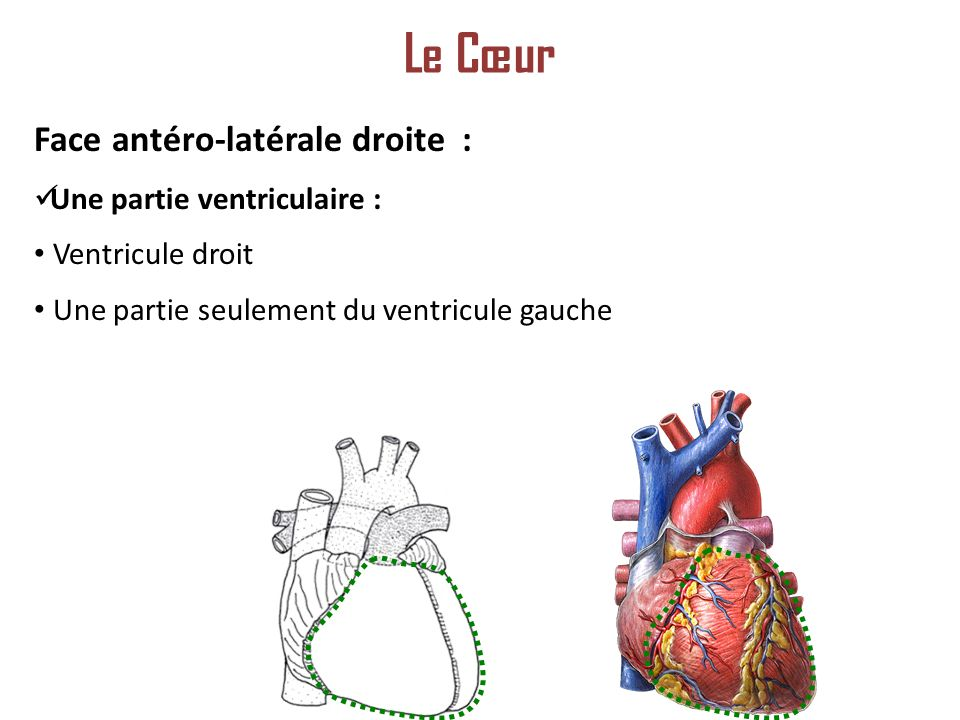 Le Cœur Face antéro-latérale droite : Une partie ventriculaire :