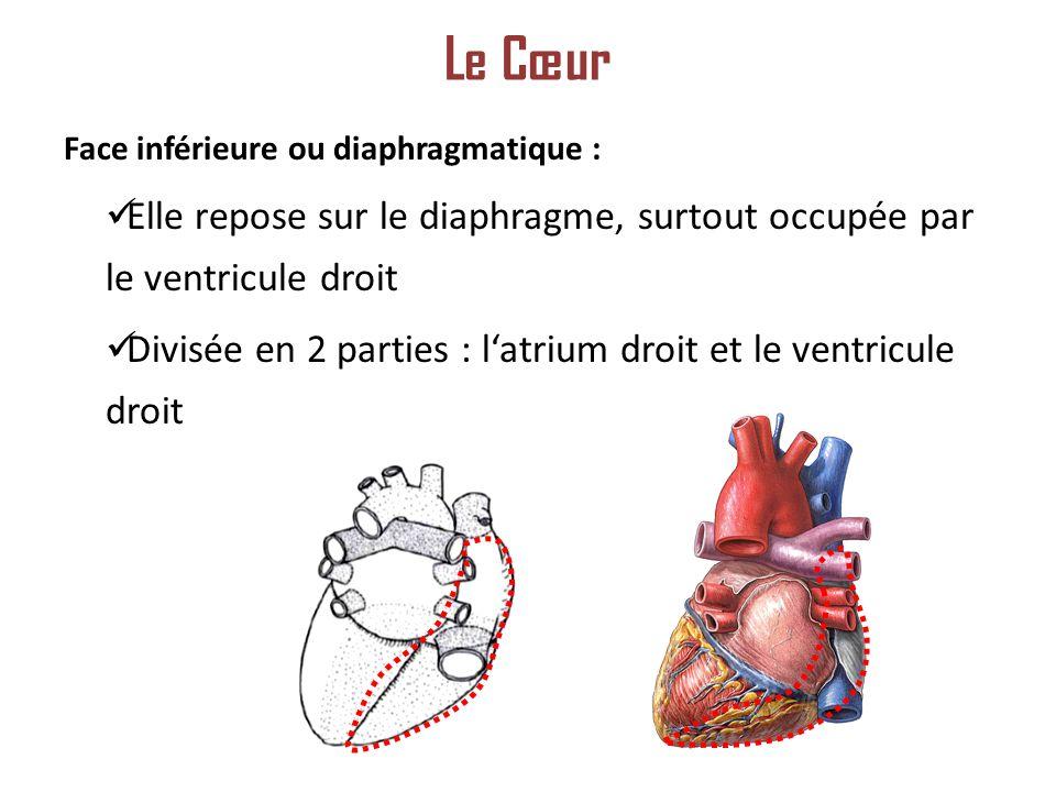 Le Cœur Face inférieure ou diaphragmatique : Elle repose sur le diaphragme, surtout occupée par le ventricule droit.