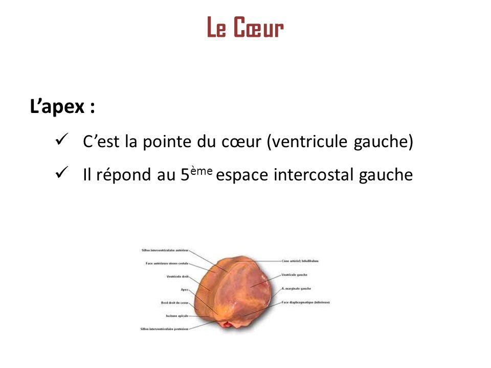 Le Cœur L'apex : C'est la pointe du cœur (ventricule gauche)