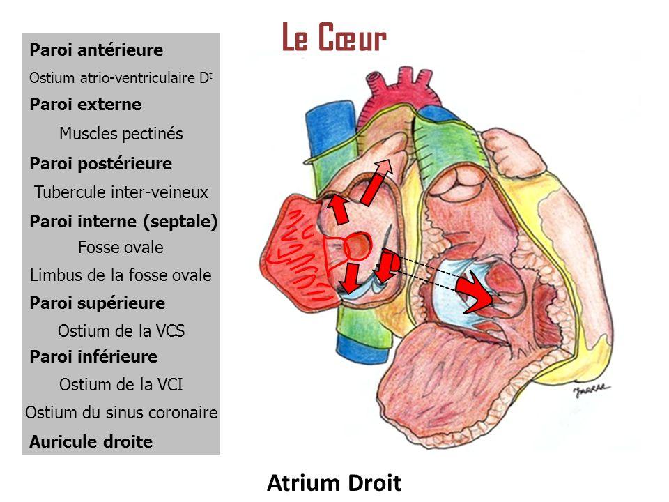 Le Cœur Atrium Droit Paroi antérieure Paroi externe Muscles pectinés