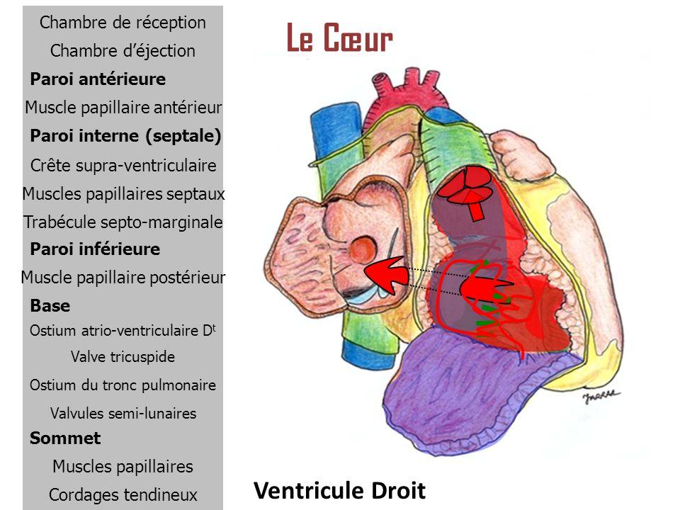 Le Cœur Ventricule Droit Chambre de réception Chambre d'éjection