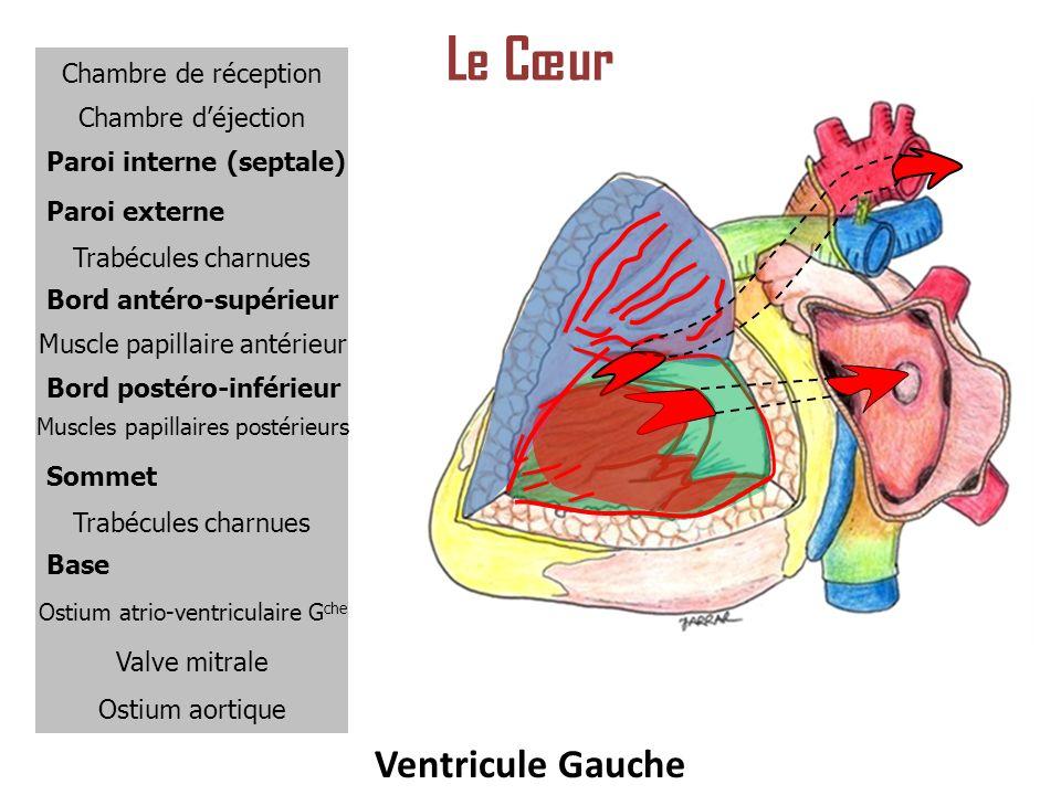 Le Cœur Ventricule Gauche Chambre de réception Chambre d'éjection