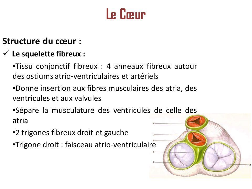 Le Cœur Structure du cœur : Le squelette fibreux :