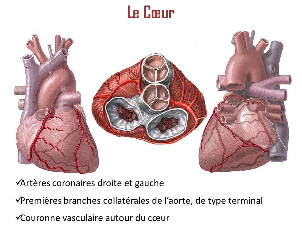 Le Cœur Artères coronaires droite et gauche