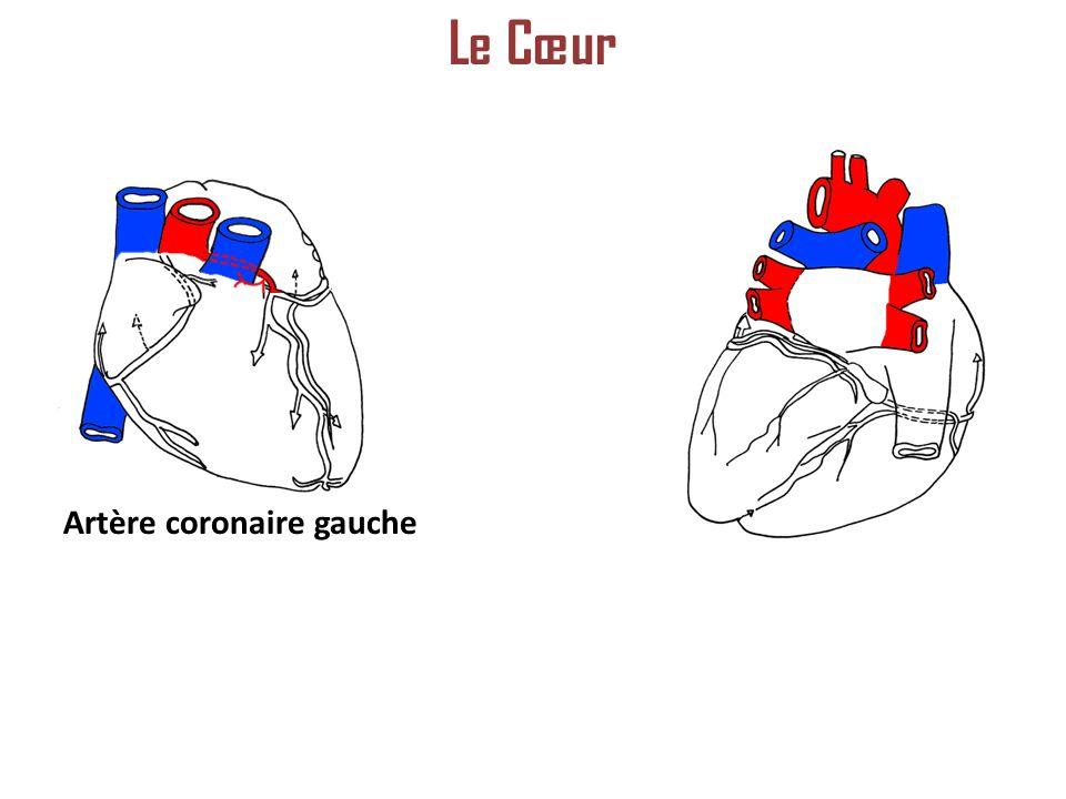 Le Cœur Artère coronaire gauche