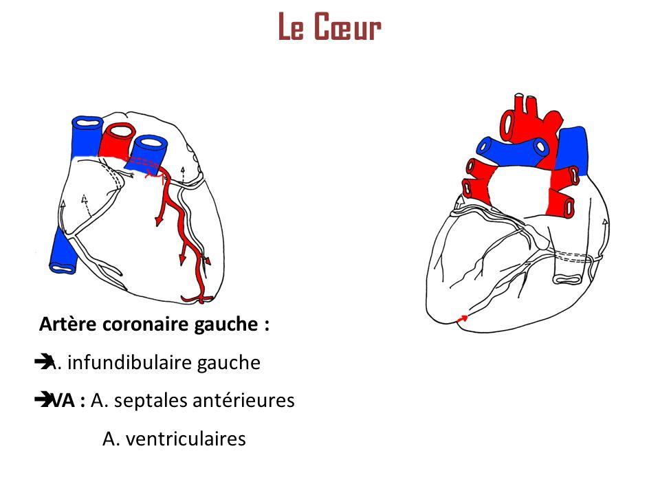 Le Cœur Artère coronaire gauche : A. infundibulaire gauche