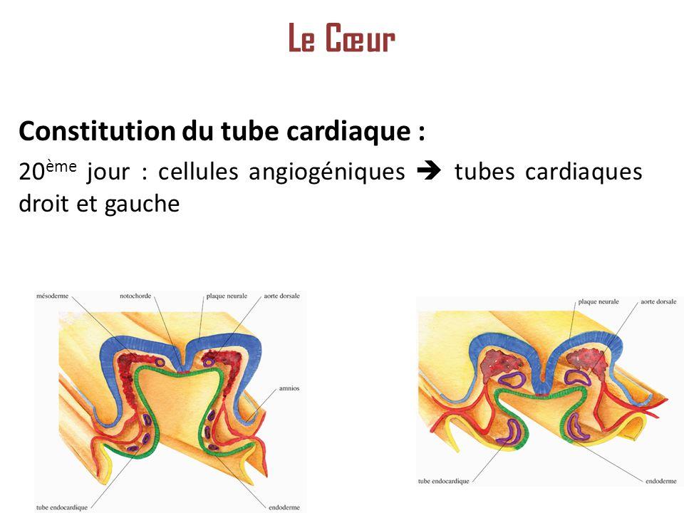 Le Cœur Constitution du tube cardiaque :