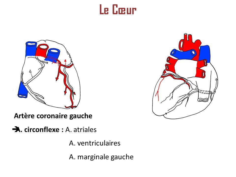 Le Cœur Artère coronaire gauche A. circonflexe : A. atriales