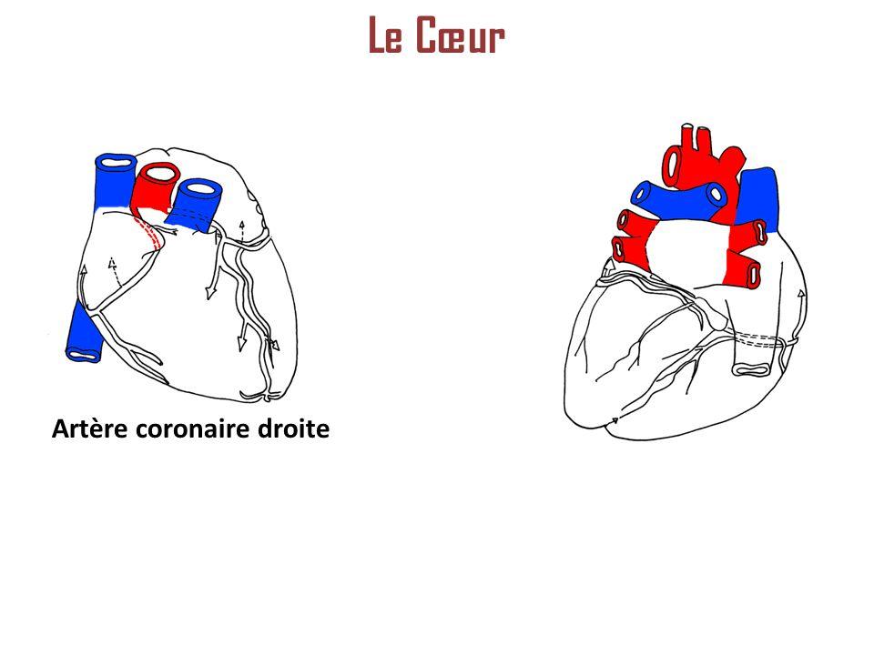 Le Cœur Artère coronaire droite
