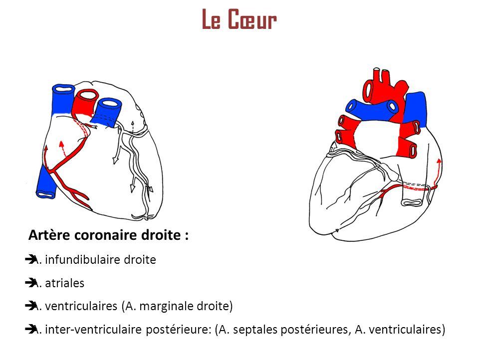 Le Cœur Artère coronaire droite : A. infundibulaire droite A. atriales