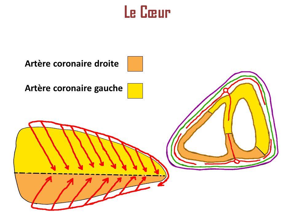 Le Cœur Artère coronaire droite Artère coronaire gauche
