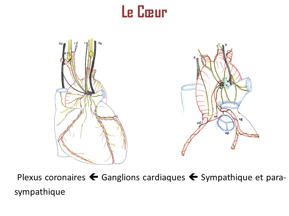 Le Cœur Plexus coronaires  Ganglions cardiaques  Sympathique et para-sympathique