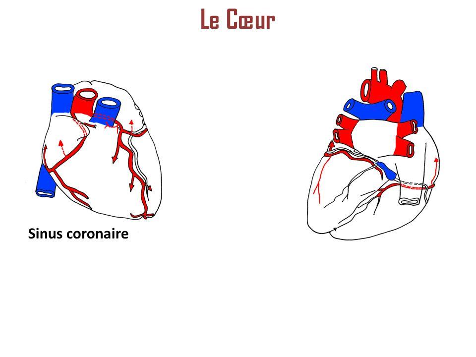 Le Cœur Sinus coronaire