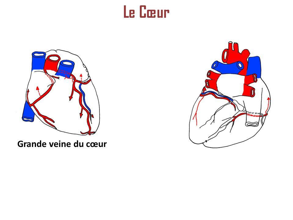 Le Cœur Grande veine du cœur