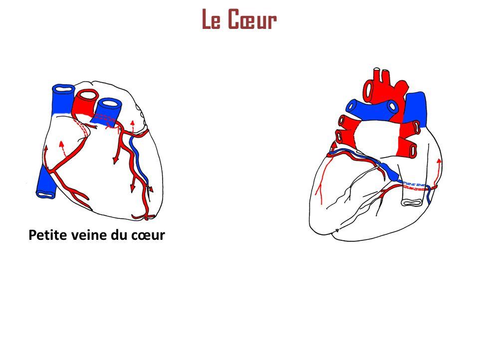 Le Cœur Petite veine du cœur