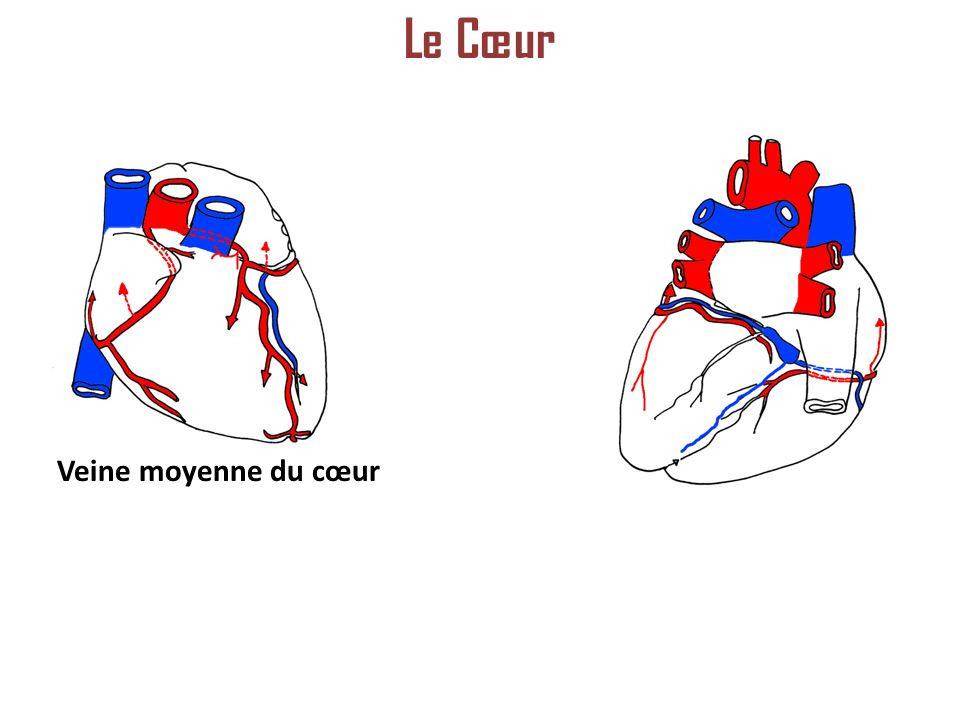 Le Cœur Veine moyenne du cœur