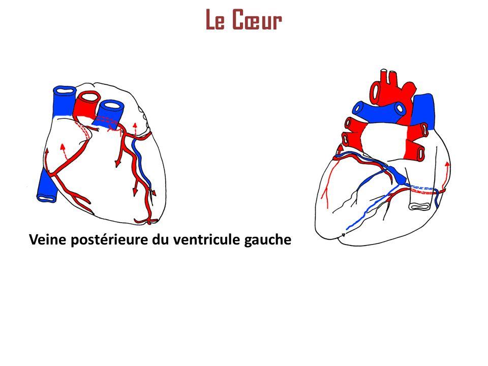 Le Cœur Veine postérieure du ventricule gauche