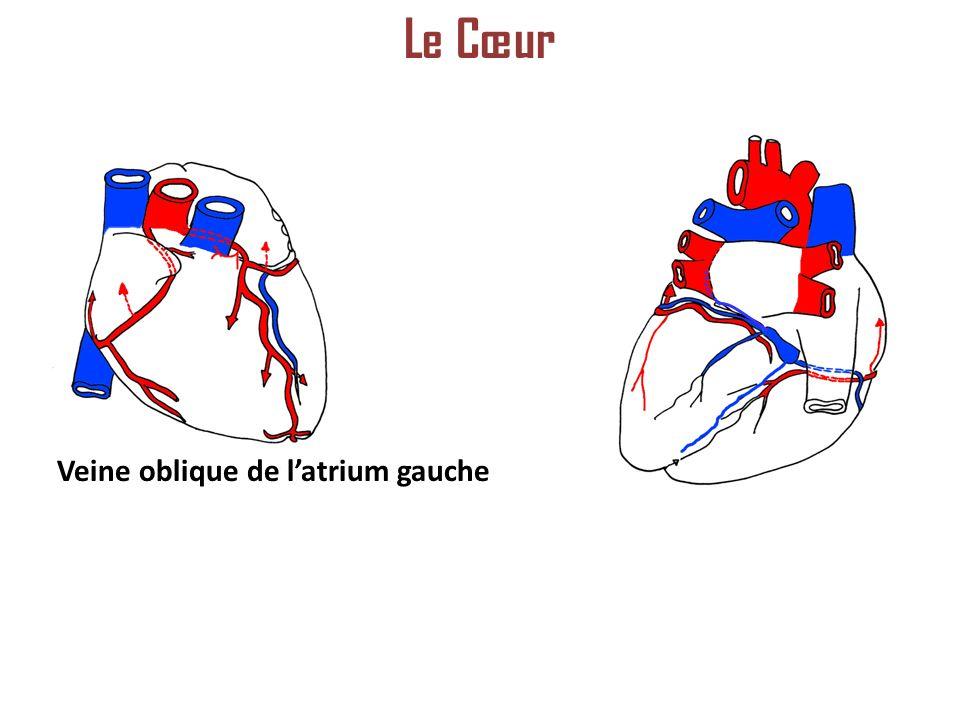 Le Cœur Veine oblique de l'atrium gauche