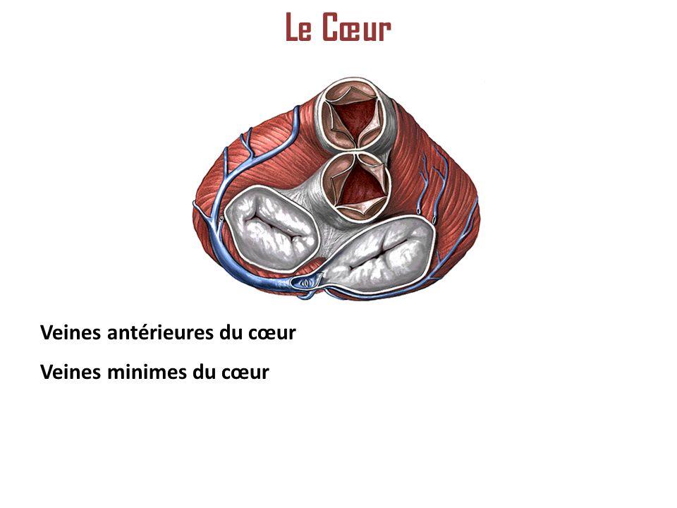 Le Cœur Veines antérieures du cœur Veines minimes du cœur