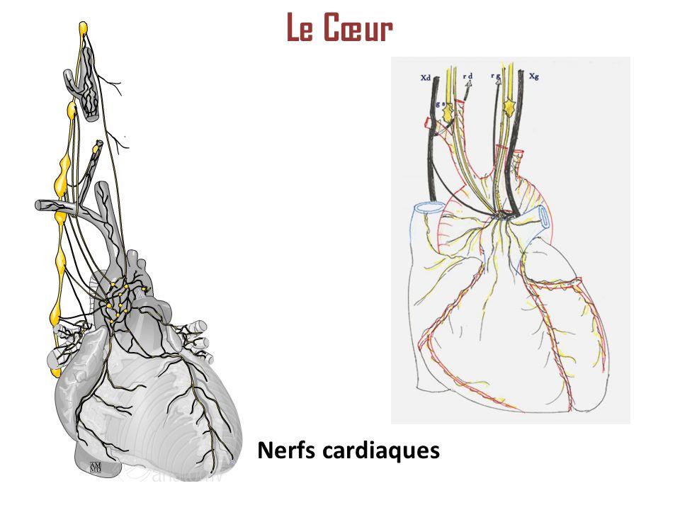 Le Cœur Nerfs cardiaques