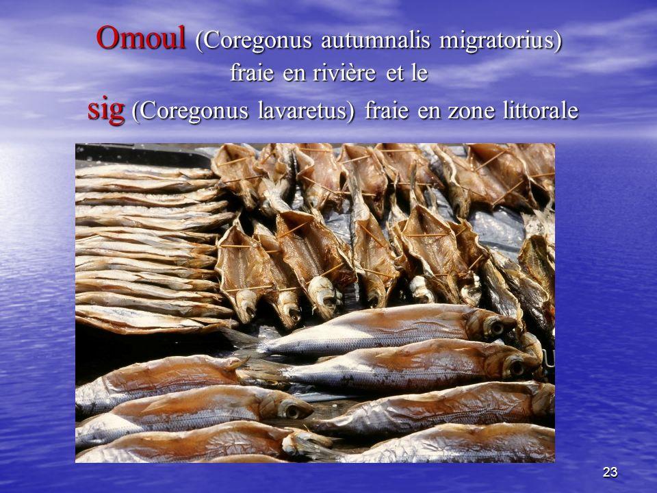 Omoul (Coregonus autumnalis migratorius) fraie en rivière et le sig (Coregonus lavaretus) fraie en zone littorale