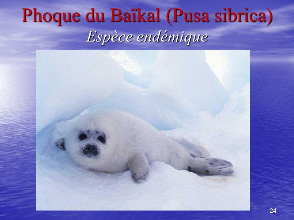Phoque du Baïkal (Pusa sibrica) Espèce endémique