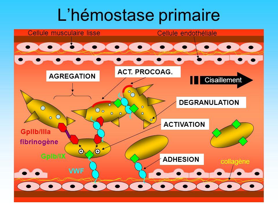 L'hémostase primaire Cellule musculaire lisse Cellule endothéliale