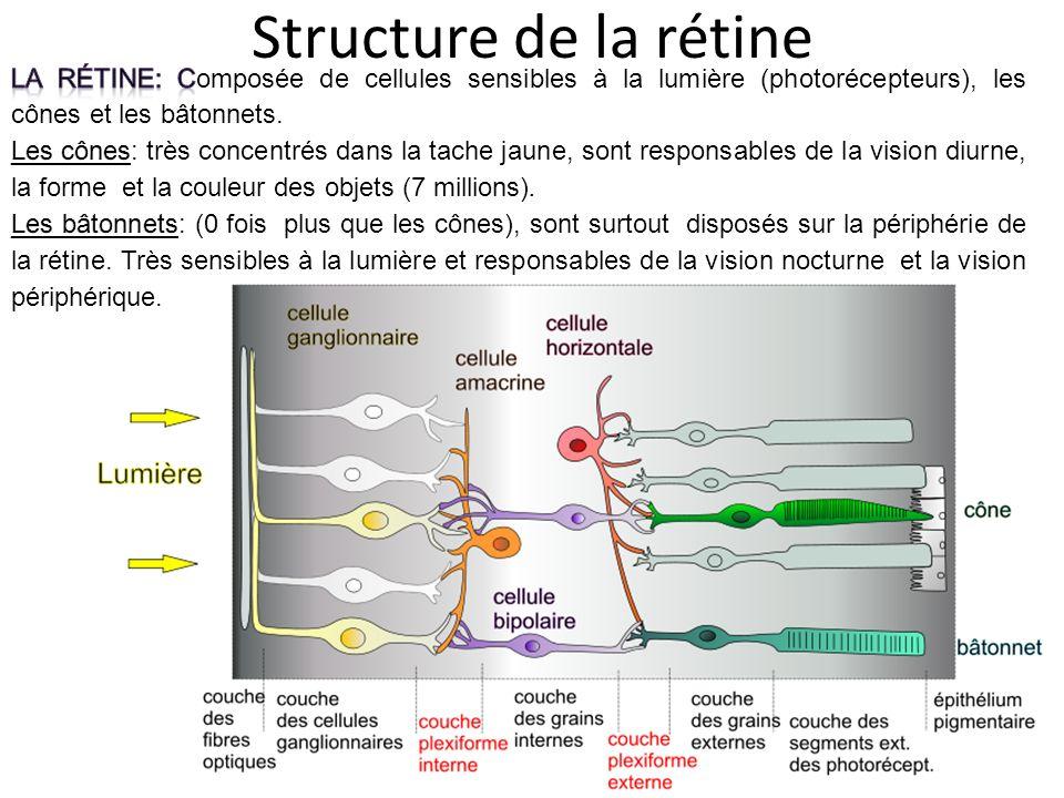 Structure de la rétine La rétine: Composée de cellules sensibles à la lumière (photorécepteurs), les cônes et les bâtonnets.