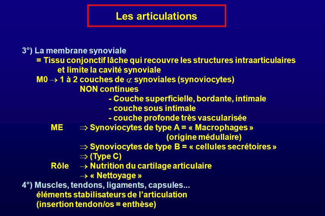Les articulations 3°) La membrane synoviale