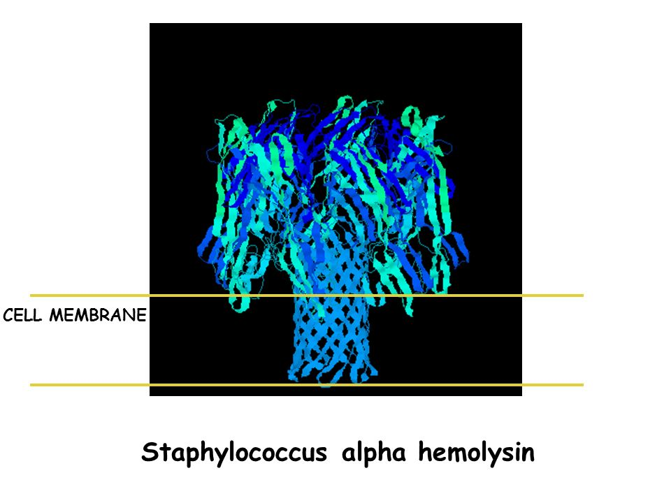 Staphylococcus alpha hemolysin