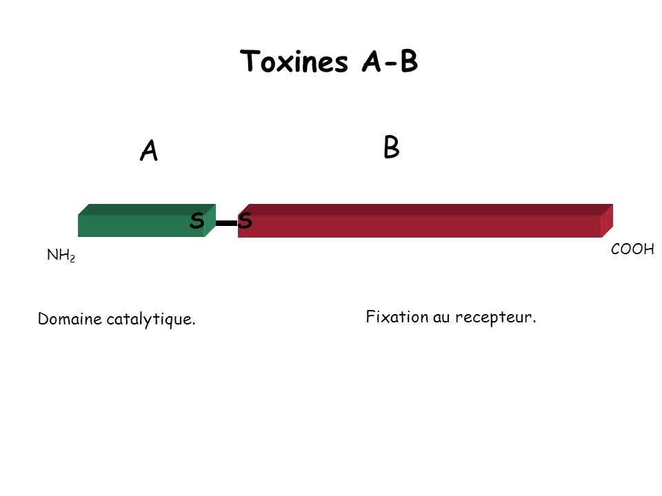 Toxines A-B B A S S Domaine catalytique. Fixation au recepteur. COOH