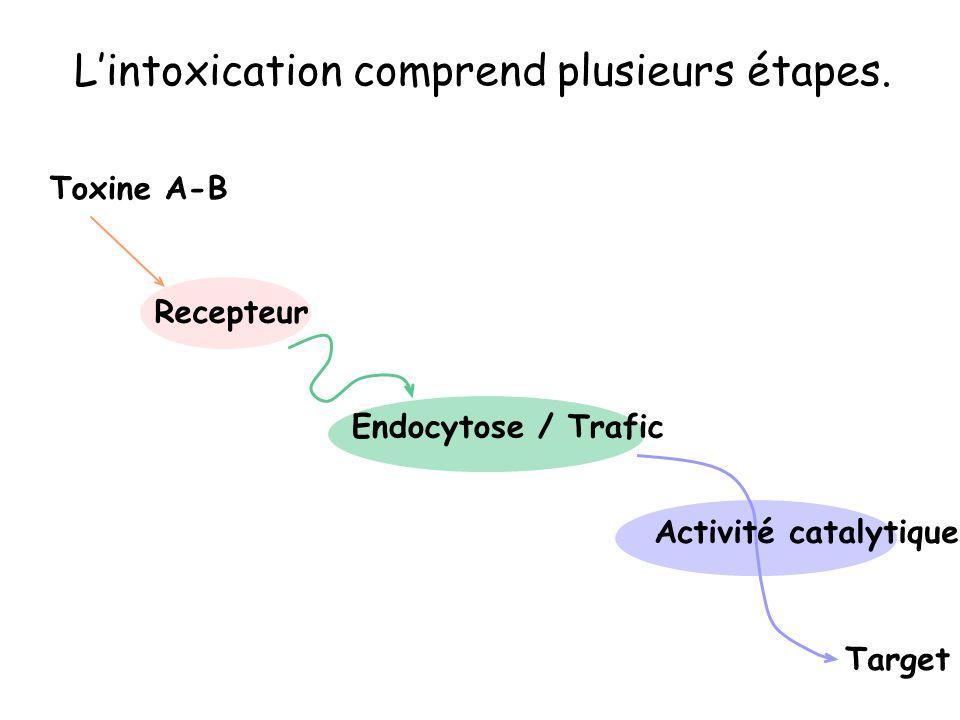 L'intoxication comprend plusieurs étapes.