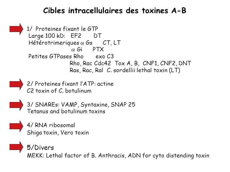 Cibles intracellulaires des toxines A-B